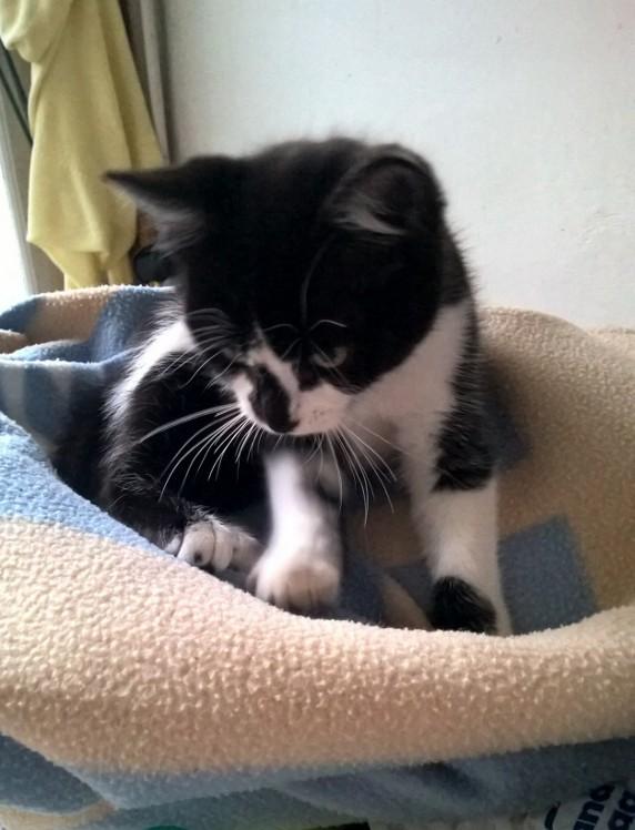 natou - NATOU, chaton européen noir&blanc, né le 07/08/17 Natou_13