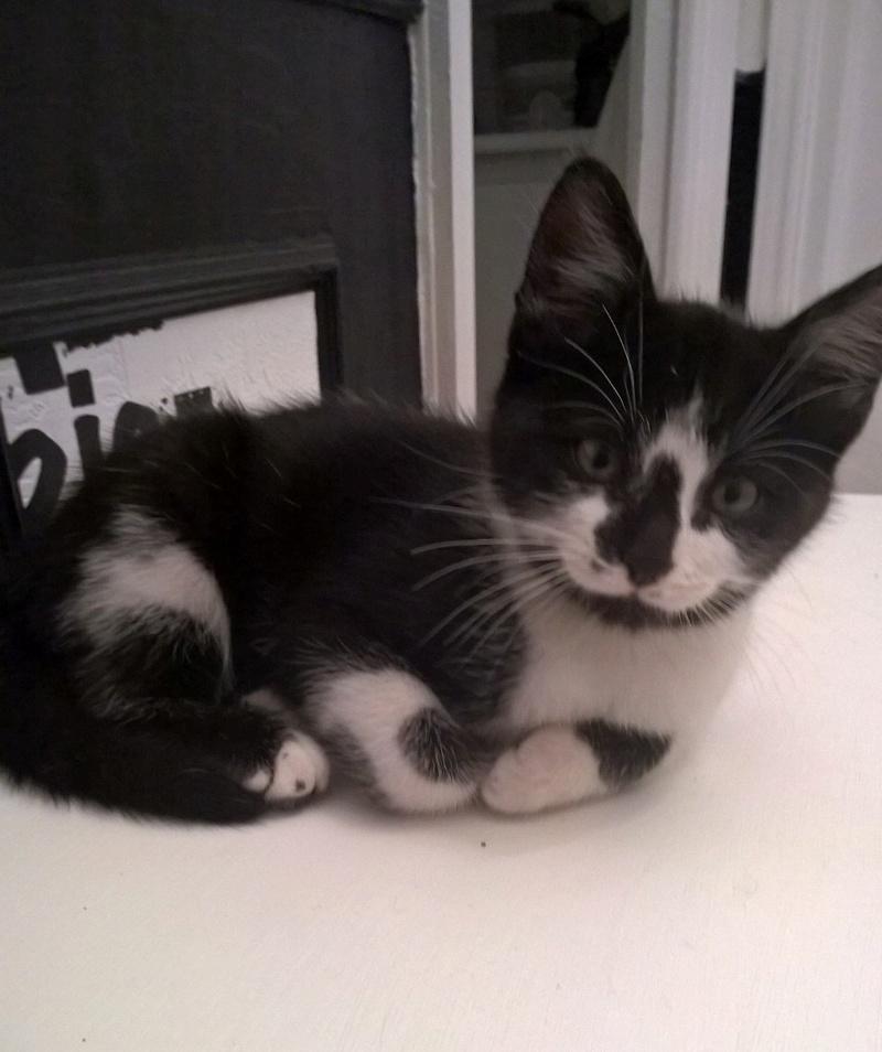 natou - NATOU, chaton européen noir&blanc, né le 07/08/17 Natou_14