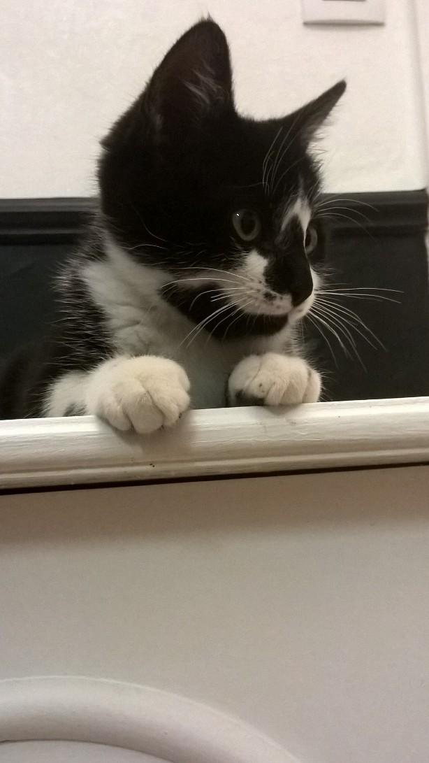 natou - NATOU, chaton européen noir&blanc, né le 07/08/17 Natou_15