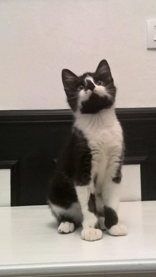 natou - NATOU, chaton européen noir&blanc, né le 07/08/17 Natou_16