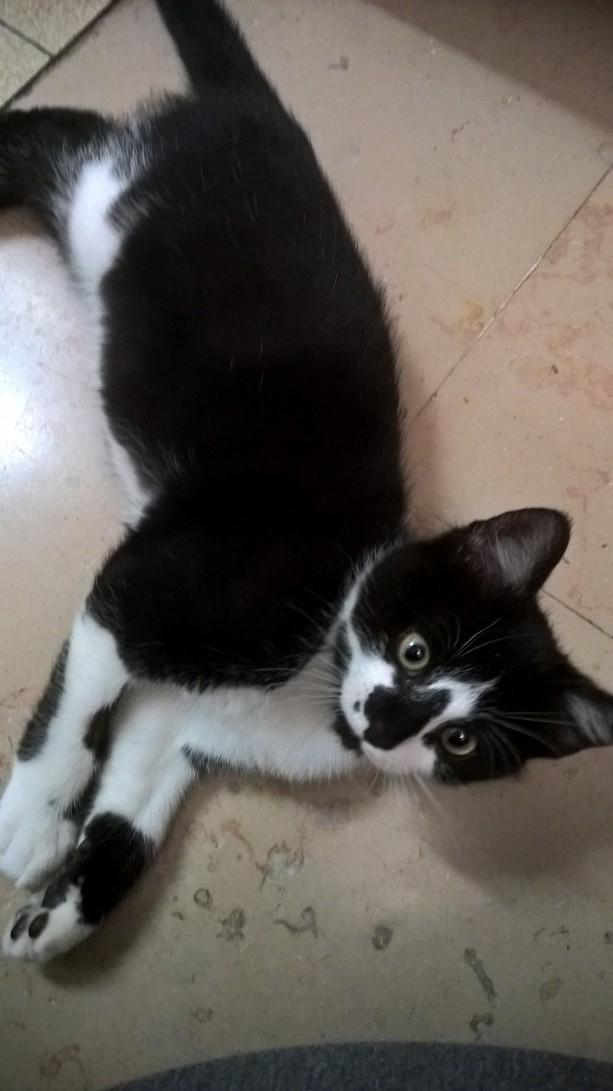 natou - NATOU, chaton européen noir&blanc, né le 07/08/17 Natou_18