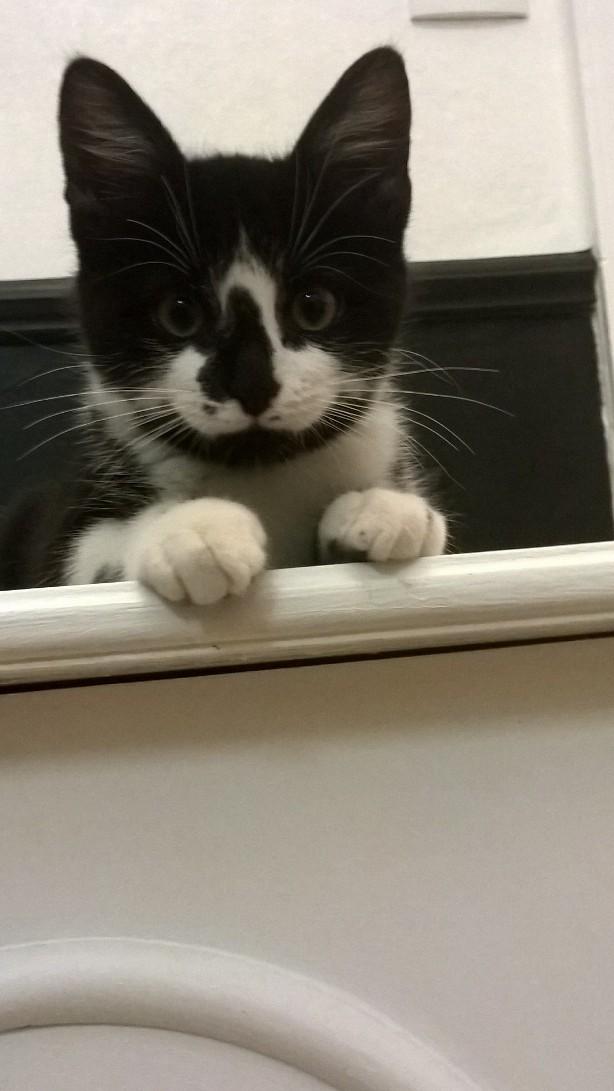 natou - NATOU, chaton européen noir&blanc, né le 07/08/17 Natou_19