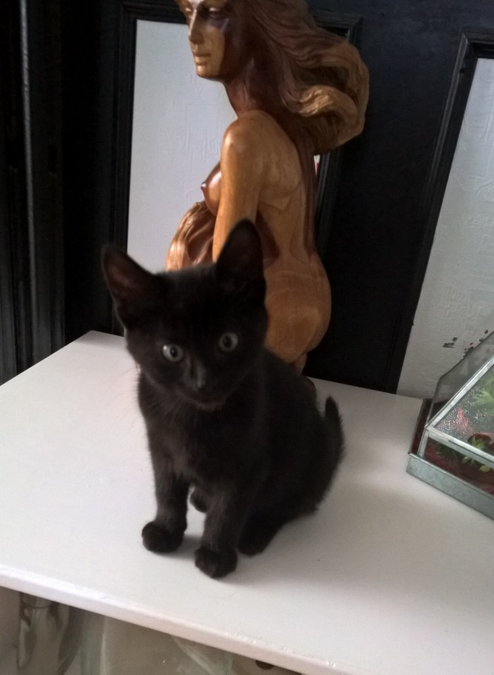 nauri - NAURI, chaton européen robe noire, né le 07/08/17 Nauri_10
