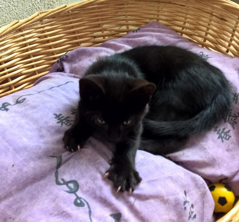 nauri - NAURI, chaton européen robe noire, né le 07/08/17 Nauri_11