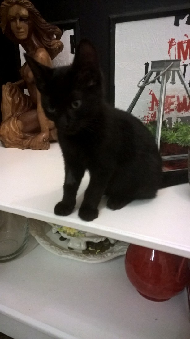 nauri - NAURI, chaton européen robe noire, né le 07/08/17 Nauri_12