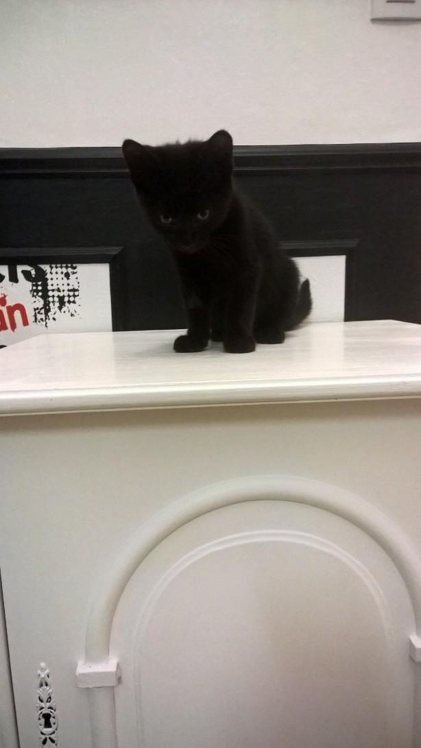 nauri - NAURI, chaton européen robe noire, né le 07/08/17 Nauri_13