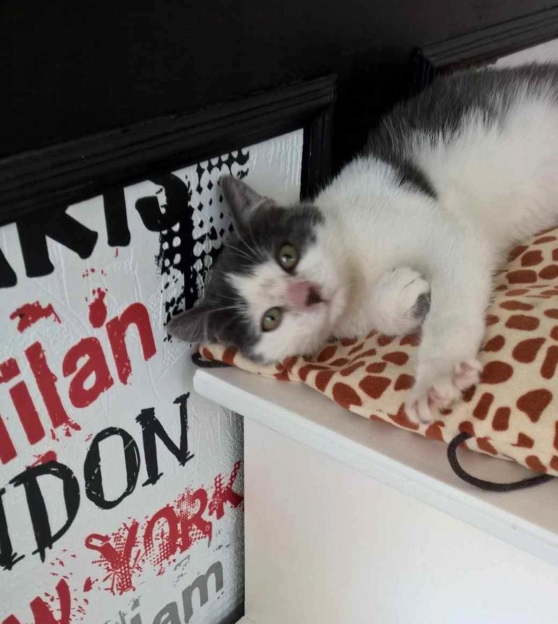 nolo - NOLO, chaton européen gris & blanc, né le 15/08/17 Nolo_111