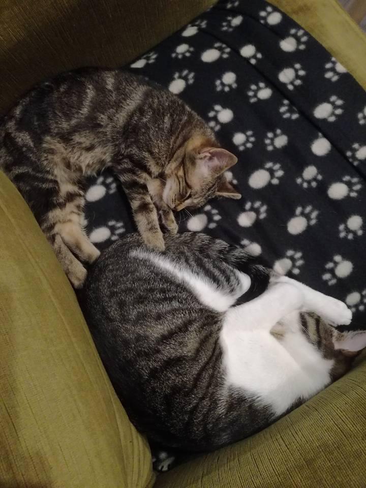nora - NORA, chatonne européenne tigrée, née le 02/08/17 Nora_110