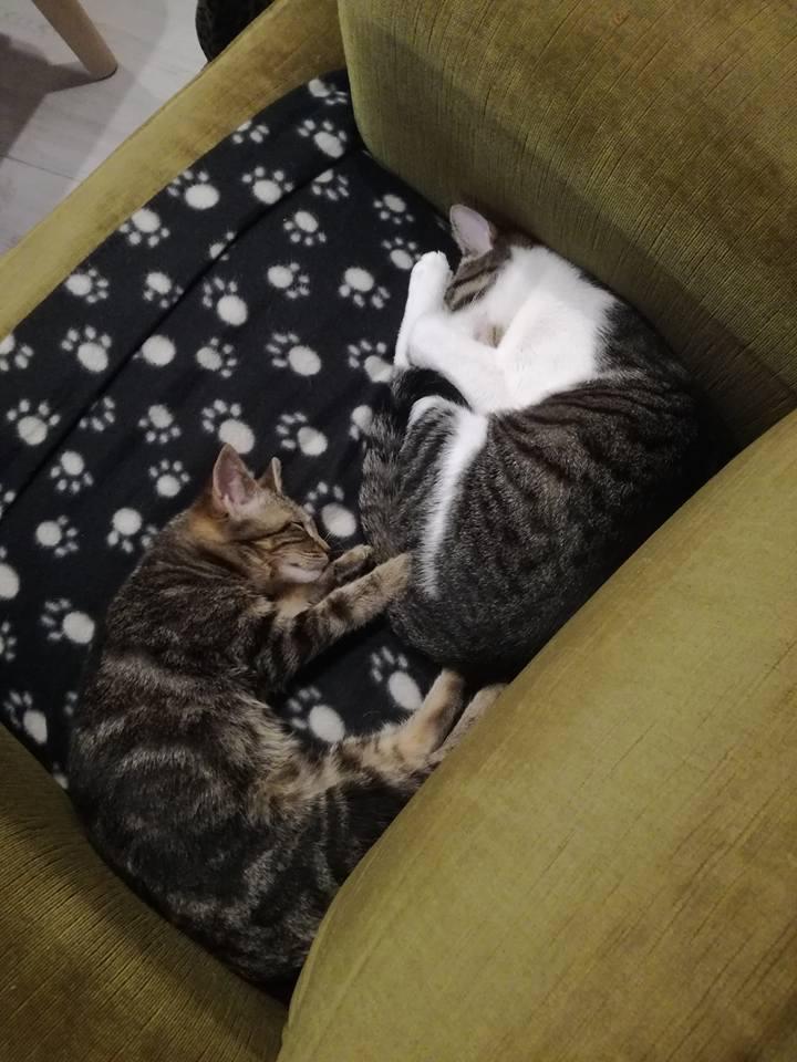 nora - NORA, chatonne européenne tigrée, née le 02/08/17 Nora_210