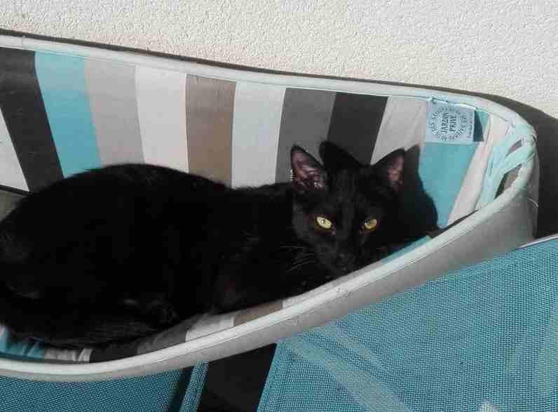 Nuty chat, mâle robe noire né le 01/07/2017, en FA longue durée Nuty_110