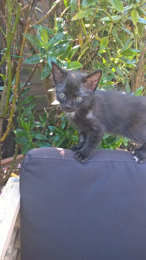 Onati, chaton noir européen, né le 15/03/2018 Onati510