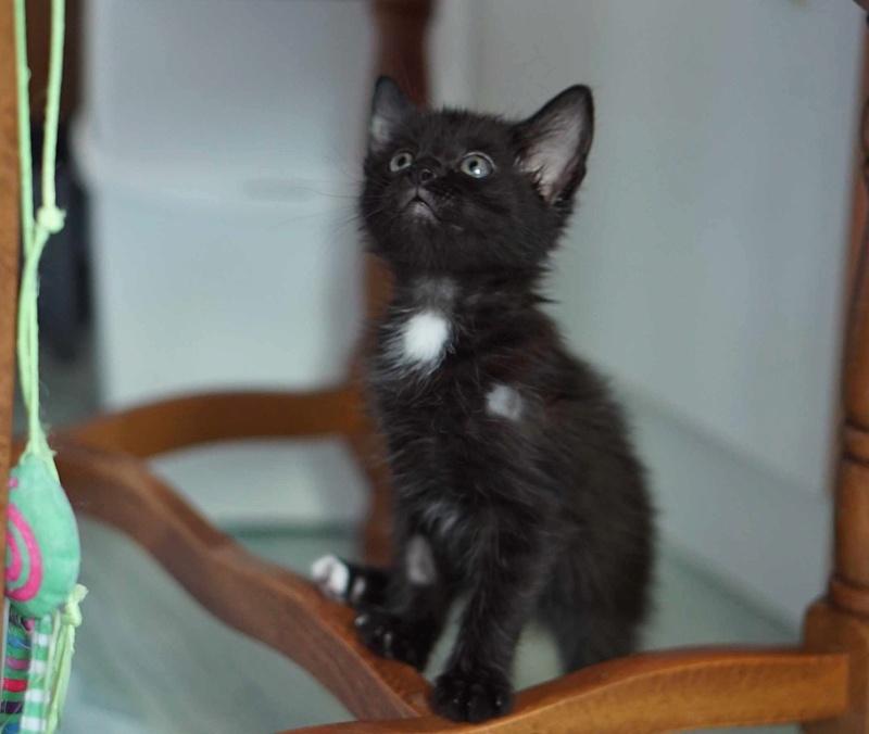 Onati, chaton noir européen, né le 15/03/2018 Onati_11