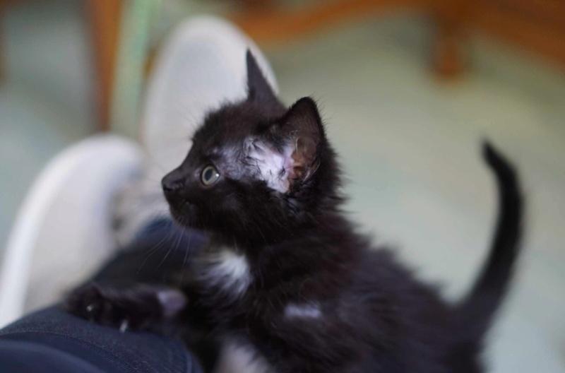 Onati, chaton noir européen, né le 15/03/2018 Onati_12