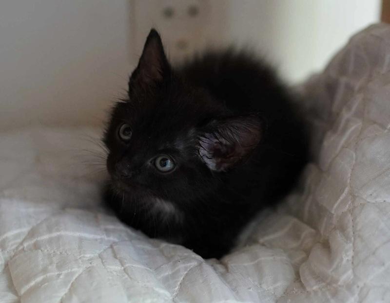 Onati, chaton noir européen, né le 15/03/2018 Onati_13