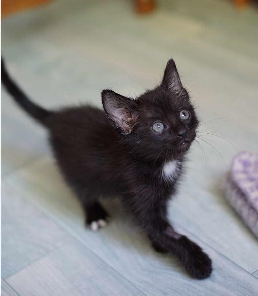 Onati, chaton noir européen, né le 15/03/2018 Onati_14