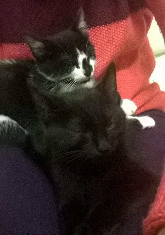 natou - NATOU, chaton européen noir&blanc, né le 07/08/17 Prise_12