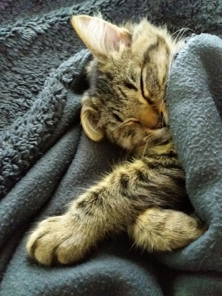 nika - NIKA, chatonne européenne tigré, poils mi-longs, née le 27/04/17 Resize12
