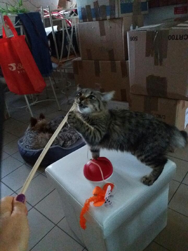 nika - NIKA, chatonne européenne tigré, poils mi-longs, née le 27/04/17 Resize13