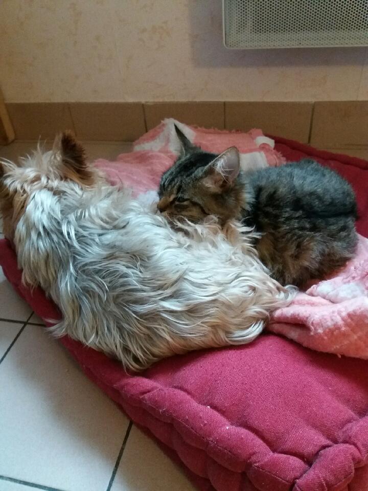 nika - NIKA, chatonne européenne tigré, poils mi-longs, née le 27/04/17 Resize14
