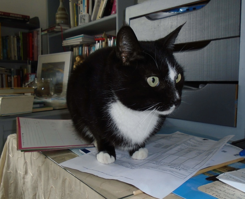 SCOUBI chat européen noir et blanc né en juin 2012  Scoubi11