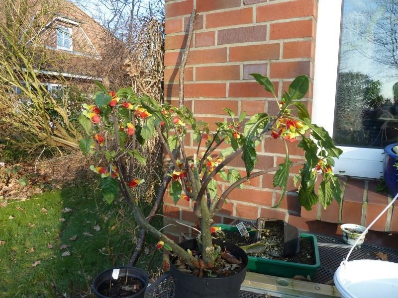 Gattung Impatiens  - Familie Balsaminaceae Afrika12