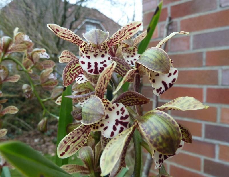 Orchideen 3 (fortlaufende Seiten 300 bis 400) Cymbid13