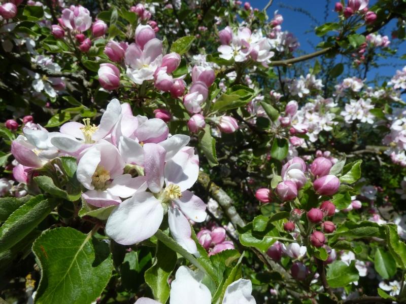 Was für Obstsorten habt Ihr denn im Garten? Aussaat, Spalier, Beerensträucher, Erfahrung und Hilfe :) - Seite 15 Juwel_10