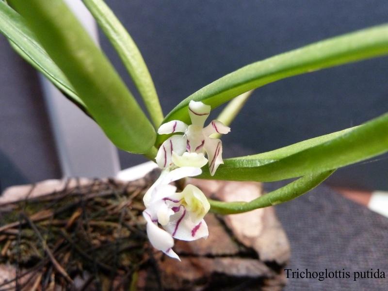 Orchideen 2 (fortlaufende Seiten 200 bis 300) - Seite 97 Tricho10