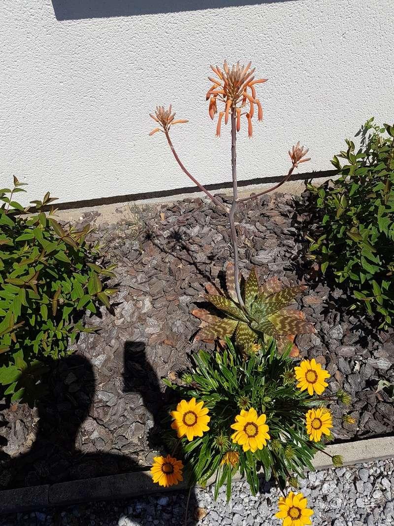 Floraison de mes Aloe Maculata Dsc_0013