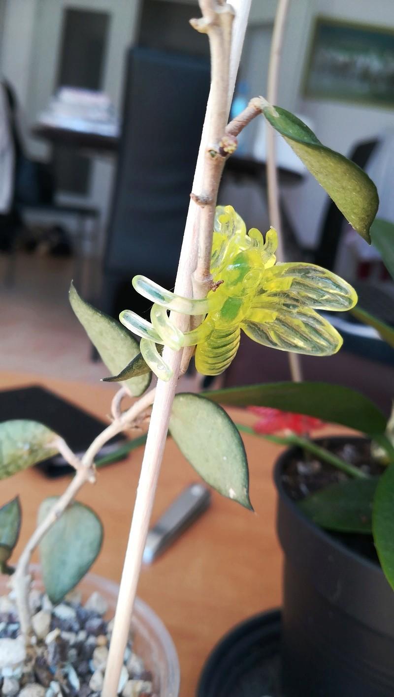 Hoya krohniana 'Eskimo' 15255110