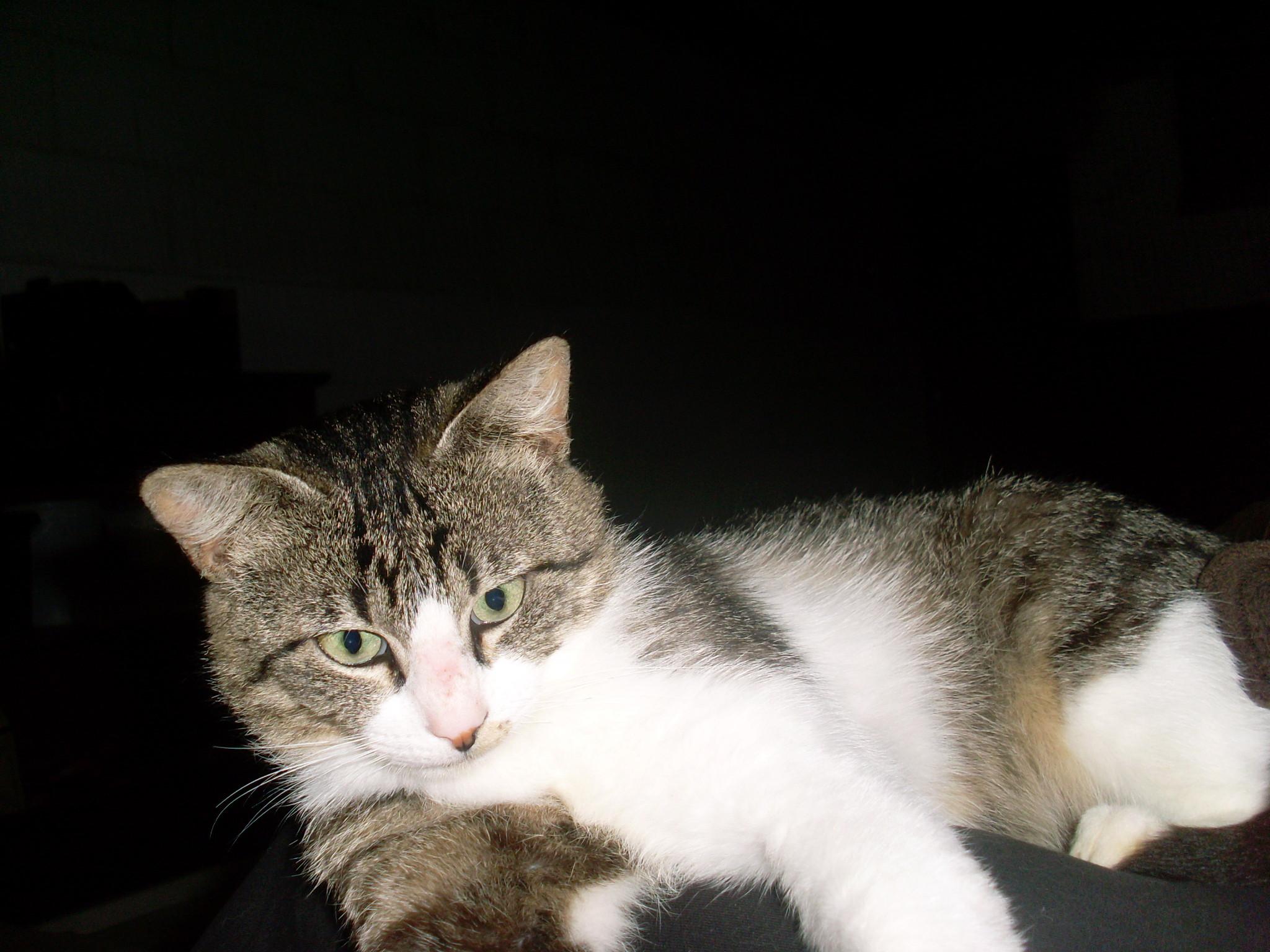 Ponko, mâle type européen tabby et blanc né 15 mai 2017 Sl370710