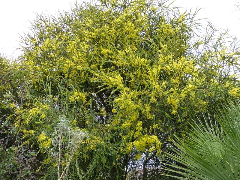 explosion florale Acacia12