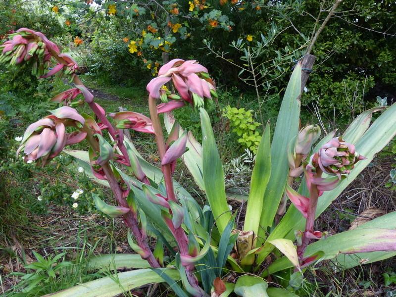 Beschorneria yuccoides - Page 5 Bescho13
