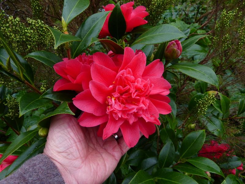 couleurs d'hiver au jardin  Camell45