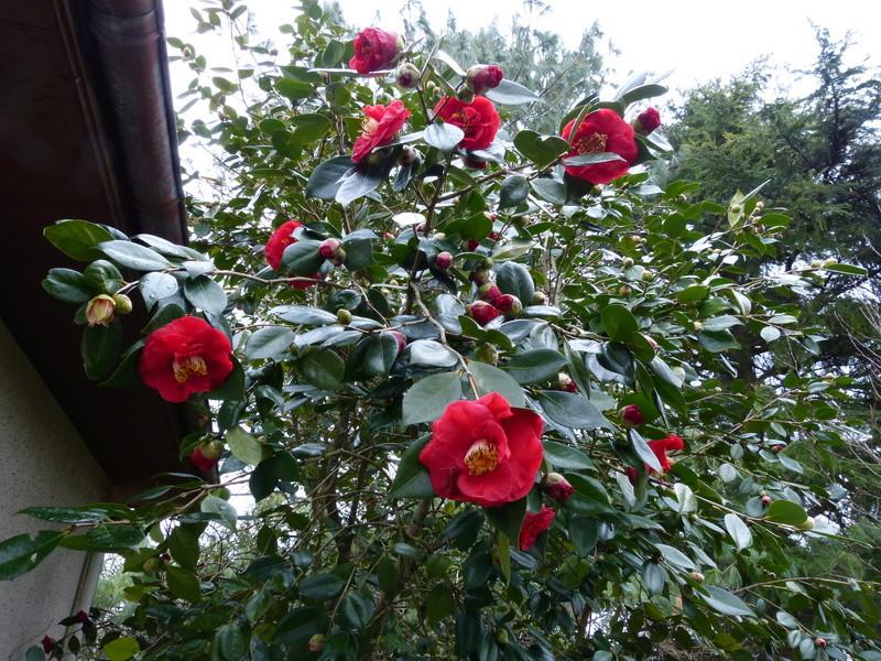 couleurs d'hiver au jardin  Camell48