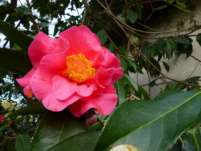 couleurs d'hiver au jardin  Camell57