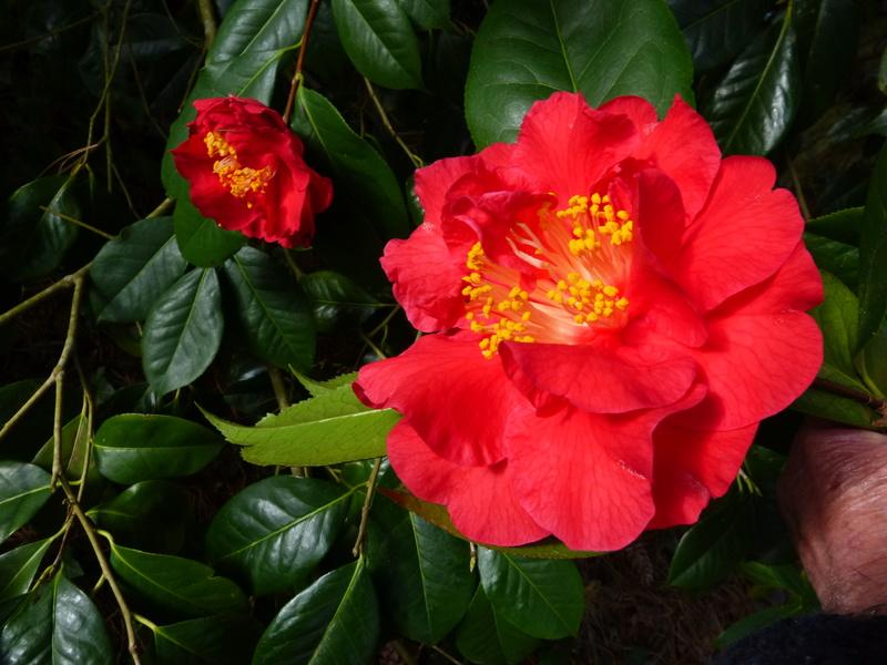 couleurs d'hiver au jardin  Camell58