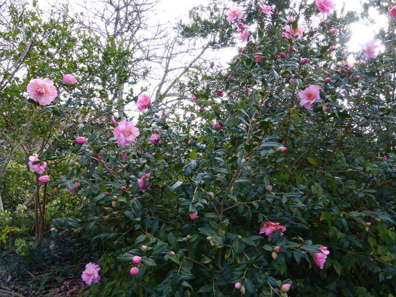 couleurs d'hiver au jardin  Camell59