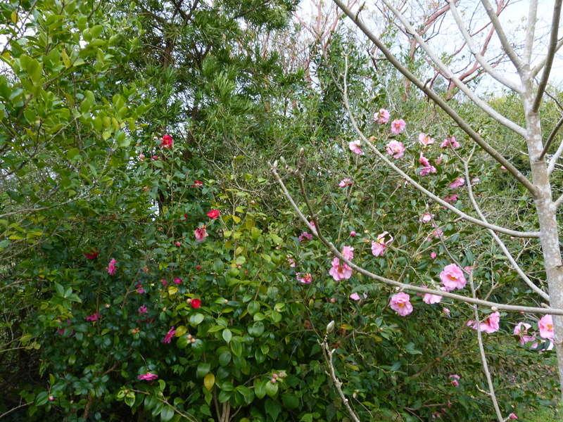 giboulées de fleurs ? Camell65