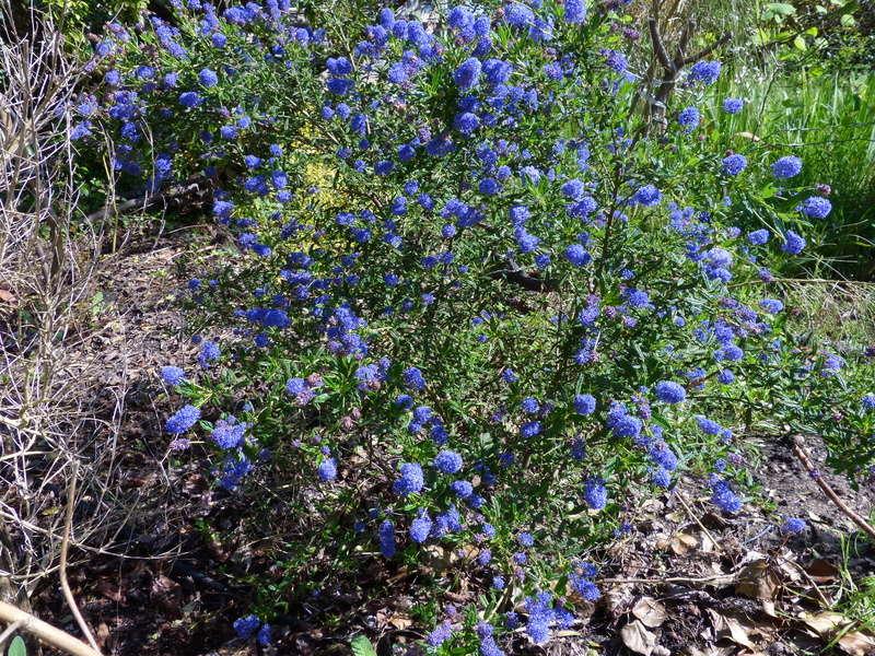 explosion florale - Page 3 Ceanot10