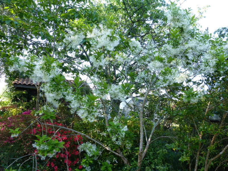 les jardins sont beaux en mai ! - Page 3 Chiona10