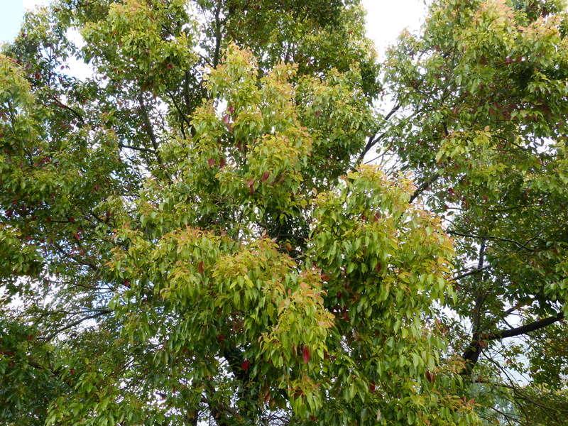 Cinnamomum camphora - camphrier - Page 4 Cinnam10
