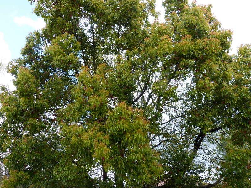 Cinnamomum camphora - camphrier - Page 4 Cinnam11