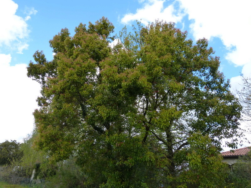 Cinnamomum camphora - camphrier - Page 4 Cinnam12