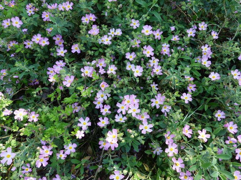 les jardins sont beaux en mai ! - Page 2 Cistus14