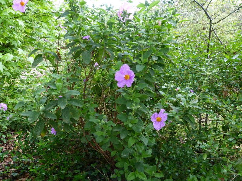 les jardins sont beaux en mai ! - Page 2 Cistus16