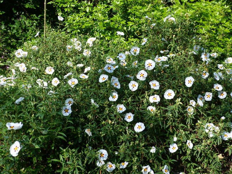 les jardins sont beaux en mai ! - Page 2 Cistus18