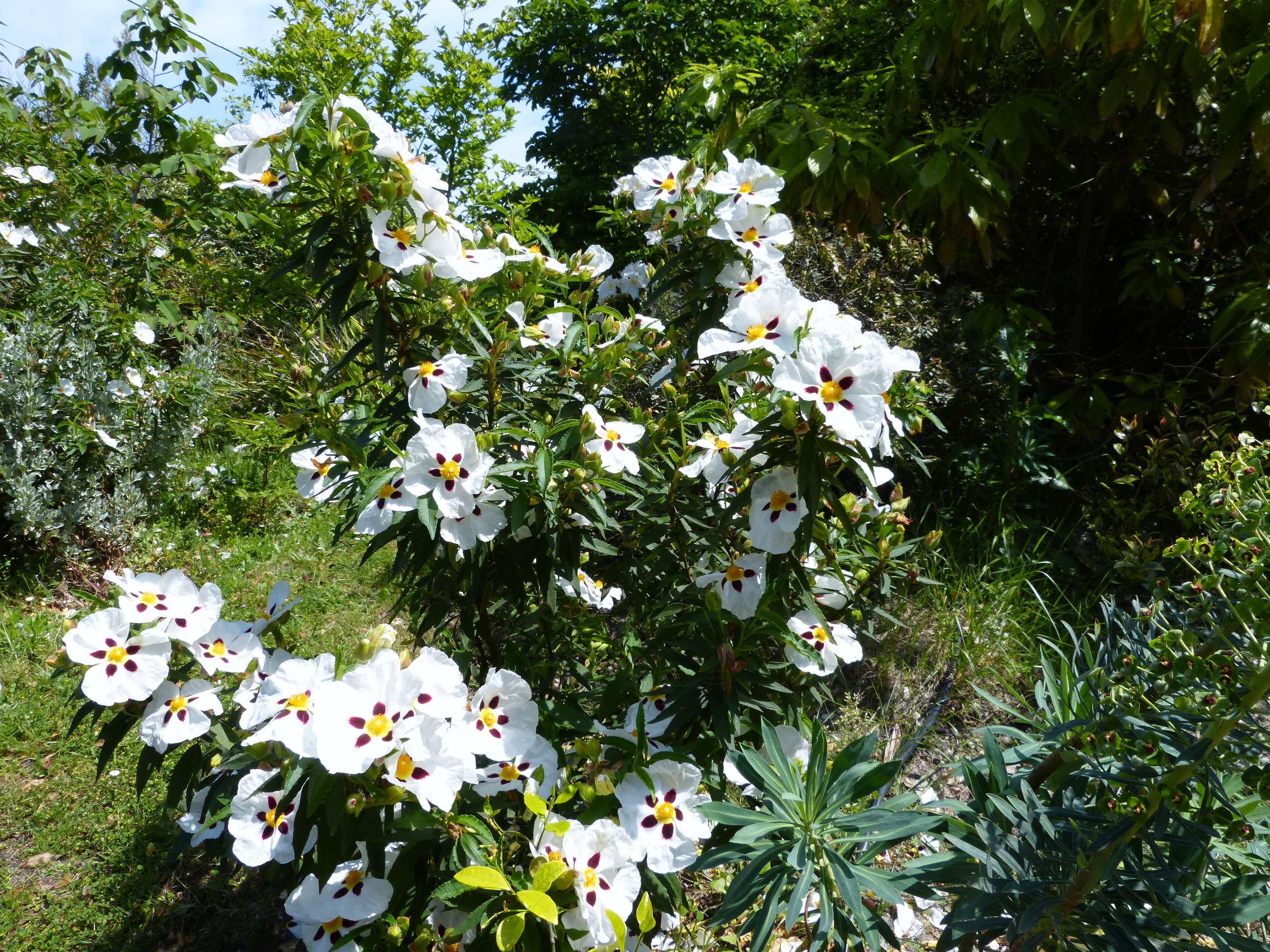 les jardins sont beaux en mai ! - Page 4 Cistus19
