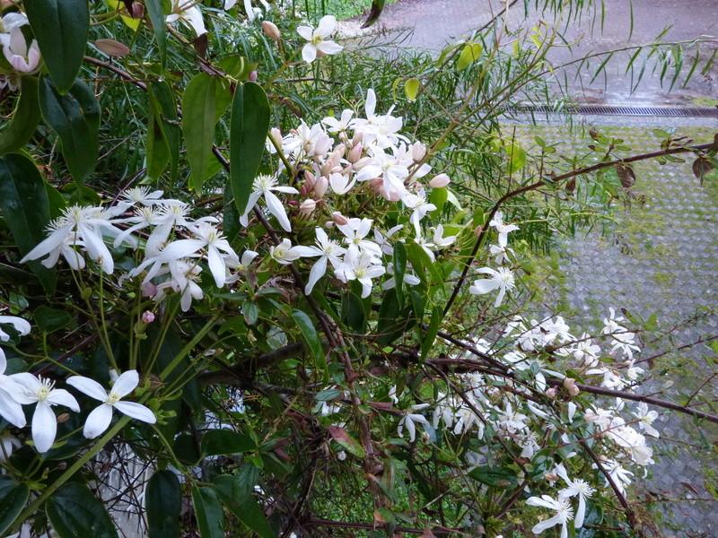 explosion florale Clemat11