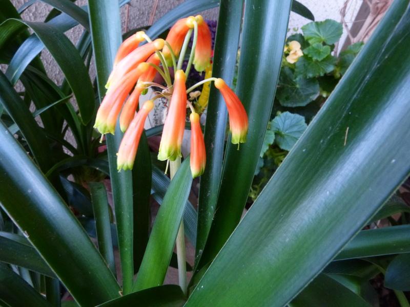 l'été indien des Fous Jardiniers - Page 3 Clivia10